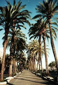 Calif palms